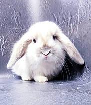 """Карликовый вислоухий кролик,порода """"Вислоухий баранчик"""",окрас """"Белый пятнистый"""",возраст 1,5мес.,девочка, фото 2"""