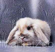 """Карликовый вислоухий кролик,порода """"Вислоухий баранчик"""",окрас """"Белый пятнистый"""",возраст 1,5мес.,девочка, фото 3"""
