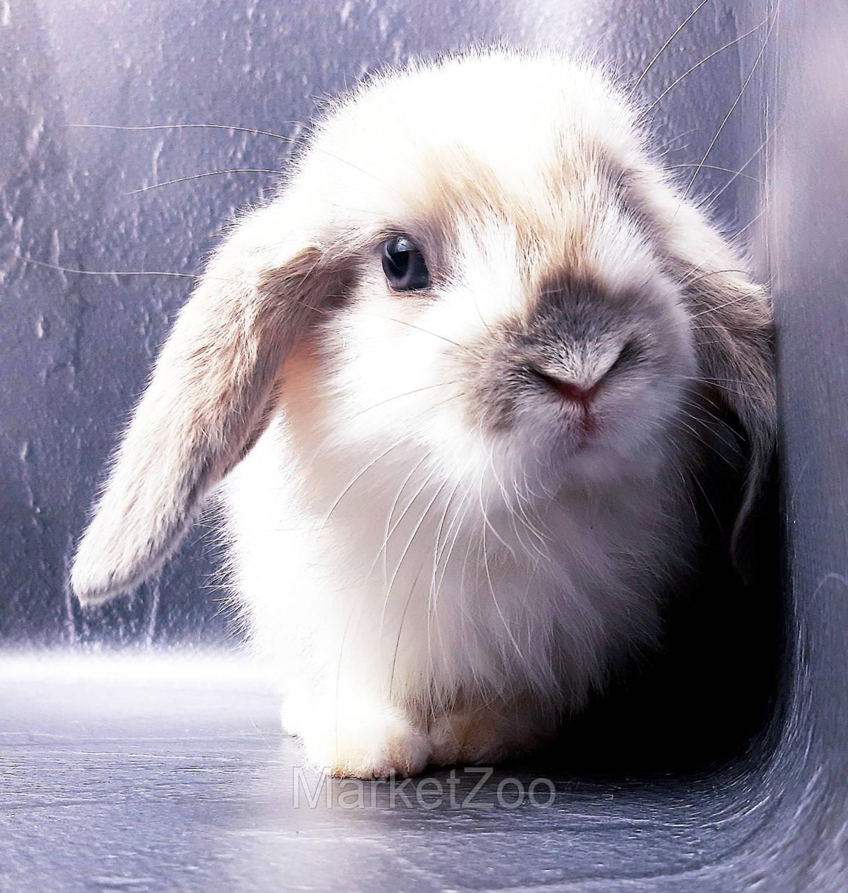 """Карликовый вислоухий кролик,порода """"Вислоухий баранчик"""",окрас """"Белый пятнистый"""",возраст 1,5мес.,девочка"""