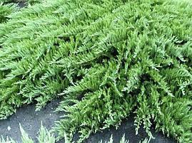 Ялівець горизонтальний Jade River 3 річний, Можжевельник горизонтальный Джейд Ривер, Juniperus horizontalis, фото 2