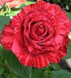 Роза Red Intuition (Ред Интуишн) чайно-гибридная 1 саженец, фото 2