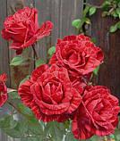Роза Red Intuition (Ред Интуишн) чайно-гибридная 1 саженец, фото 4