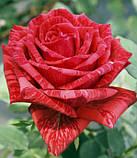 Роза Red Intuition (Ред Интуишн) чайно-гибридная 1 саженец, фото 5