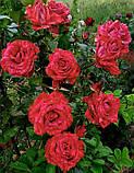 Роза Red Intuition (Ред Интуишн) чайно-гибридная 1 саженец, фото 6