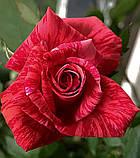 Роза Red Intuition (Ред Интуишн) чайно-гибридная 1 саженец, фото 7