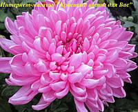 Хризантема крупная  черенок