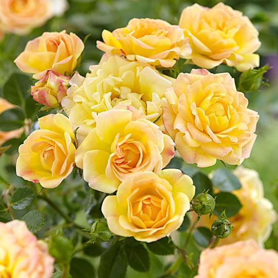 "Троянда бордюрна ""Yellow Fairy"", (С1,5)"