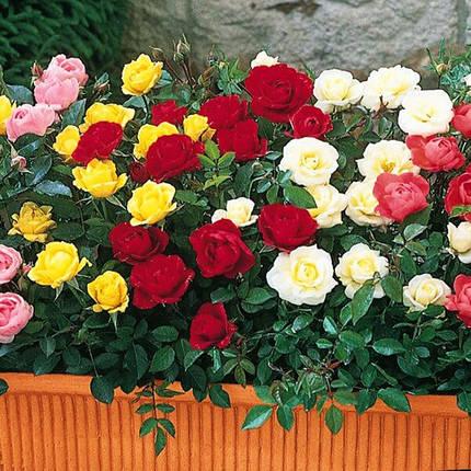 """Троянда бордюрна """"Yellow Fairy"""", (С1,5), фото 2"""