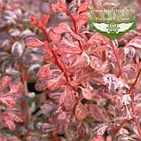 Berberis thunbergii 'Harlequin', Барбарис Тунберга 'Арлекін',C7.5 - горщик 7,5 л, фото 4