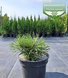Pinus mugo var. pumilio, Сосна гірська 'Пуміліо',20-30см,CRB15 - ком/горщ. 15л, фото 2