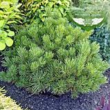 Pinus mugo var. pumilio, Сосна гірська 'Пуміліо',20-30см,CRB15 - ком/горщ. 15л, фото 5