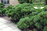 Pinus mugo var. pumilio, Сосна гірська 'Пуміліо',20-30см,CRB15 - ком/горщ. 15л, фото 7