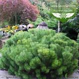 Pinus mugo var. pumilio, Сосна гірська 'Пуміліо',20-30см,CRB15 - ком/горщ. 15л, фото 8