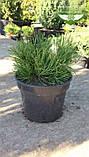 Pinus mugo var. pumilio, Сосна гірська 'Пуміліо',20-30см,CRB15 - ком/горщ. 15л, фото 9
