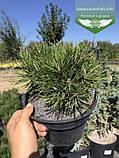 Pinus mugo var. pumilio, Сосна гірська 'Пуміліо',20-30см,CRB15 - ком/горщ. 15л, фото 10