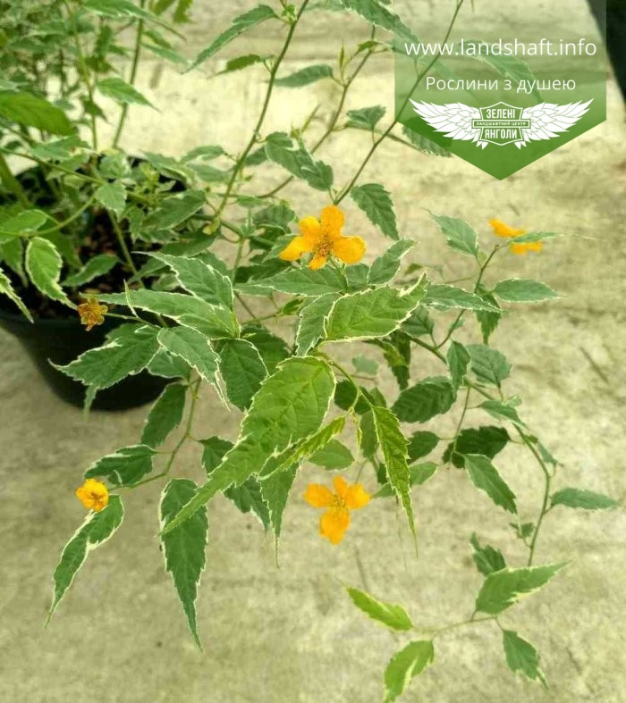 Kerria japonica 'Picta', Керія японська 'Пікта',P7-Р9 - горщик 9х9х9