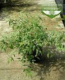 Kerria japonica 'Picta', Керія японська 'Пікта',P7-Р9 - горщик 9х9х9, фото 2