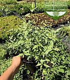 Kerria japonica 'Picta', Керія японська 'Пікта',P7-Р9 - горщик 9х9х9, фото 4