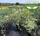 Kerria japonica 'Picta', Керія японська 'Пікта',P7-Р9 - горщик 9х9х9, фото 5