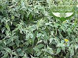 Kerria japonica 'Picta', Керія японська 'Пікта',P7-Р9 - горщик 9х9х9, фото 6