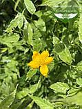 Kerria japonica 'Picta', Керія японська 'Пікта',P7-Р9 - горщик 9х9х9, фото 9