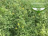 Kerria japonica 'Picta', Керія японська 'Пікта',P7-Р9 - горщик 9х9х9, фото 10