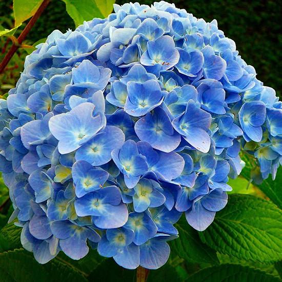 Гортензія крупнолиста 'Nikko Blue', (Р12)