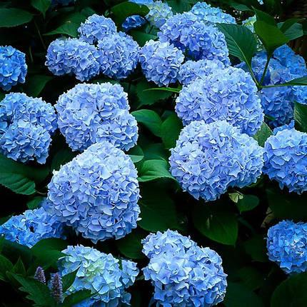 Гортензія крупнолиста 'Nikko Blue', (Р12), фото 2