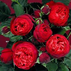 Роза английская Пиано