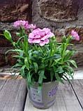 Горшечное растение комнатная гвоздика, фото 2