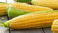 Семена ранней кукурузы ДН Пивиха ЮгАгроСервис ФАО 180, раннеспелая кукуруза