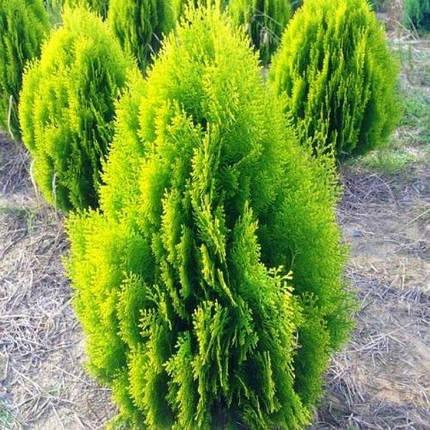 Туя східна Aurea Nana 2 річна, Туя восточная Ауреа Нана , Thuja / Platycladus orientalis Aurea Nana, фото 2