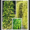 Туя складчаста Zebrina 2 річна, Туя складчатая Зебрина / Ауреаваріегат, Thuja plicata Zebrina / Aureovariegata, фото 2