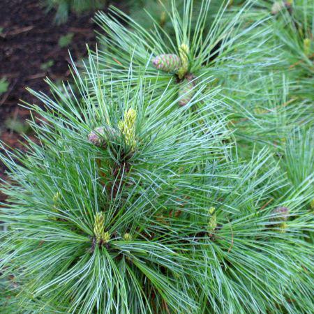 Сосна румелійська (Pinus peuce), (Р9)