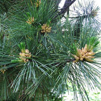 Сосна румелійська (Pinus peuce), (Р9), фото 2