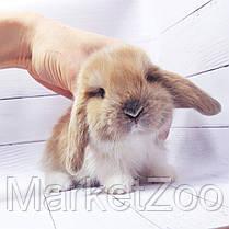 """Карликовый вислоухий кролик,порода """"Вислоухий баранчик"""",окрас """"Изабелла плащ."""",возраст 1,5мес,девочка, фото 3"""