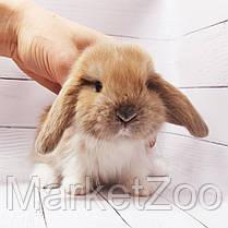 """Карликовый вислоухий кролик,порода """"Вислоухий баранчик"""",окрас """"Изабелла плащ."""",возраст 1,5мес,девочка, фото 2"""