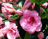 Азалія Rosebud (Бутон троянди) 3год, фото 5