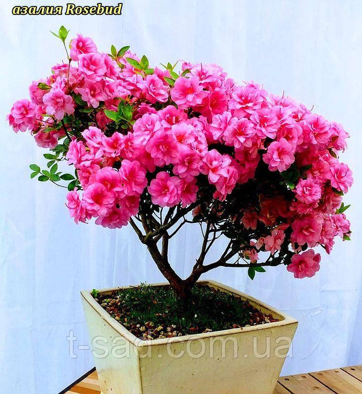 Азалія Rosebud (Бутон троянди) 3год
