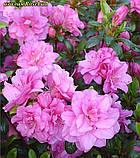 Азалія Rosebud (Бутон троянди) 3год, фото 6