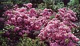 Азалія Rosebud (Бутон троянди) 3год, фото 7