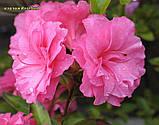 Азалія Rosebud (Бутон троянди) 3год, фото 10