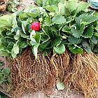 Саженцы клубники (рассада) Чудо Лихоносова - ремонтантная, сочная, урожайная, фото 5