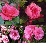 Азалія Rosebud (Бутон троянди) 3год, фото 4