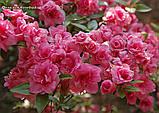 Азалія Rosebud (Бутон троянди) 3год, фото 2