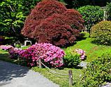 Азалія Rosebud (Бутон троянди) 3год, фото 8