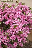 Азалія Rosebud (Бутон троянди) 3год, фото 9
