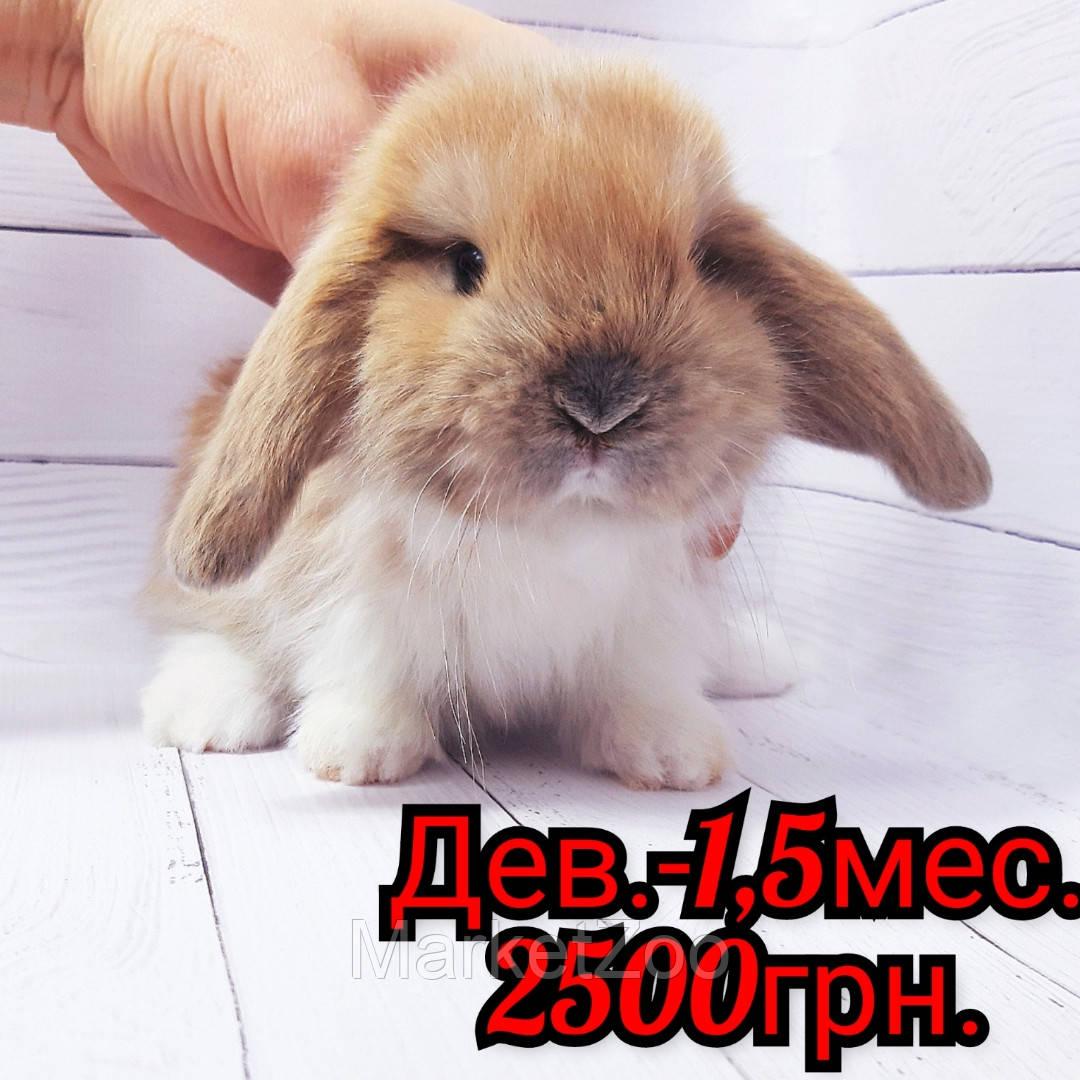 """Карликовый вислоухий кролик,порода """"Вислоухий баранчик"""",окрас """"Изабелла плащ."""",возраст 1,5мес,девочка"""