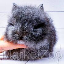 """Карликовый торчеухий кролик,порода """"Львиная голова"""",окрас """"Серебро"""",возраст 1,5мес.,девочка, фото 2"""