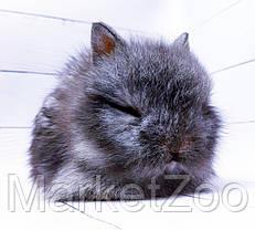 """Карликовый торчеухий кролик,порода """"Львиная голова"""",окрас """"Серебро"""",возраст 1,5мес.,девочка, фото 3"""